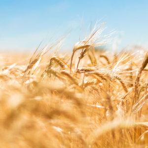Loucocal biscuiterie Sarlat - Illustration champ de blé